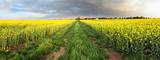 Rape field panorama with path and clouds - 150447900