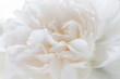 Floral background of light tones. Peony bud close