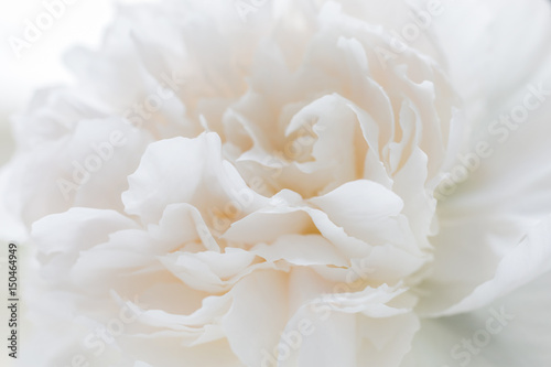 Floral background of light tones. Peony bud close - 150464949