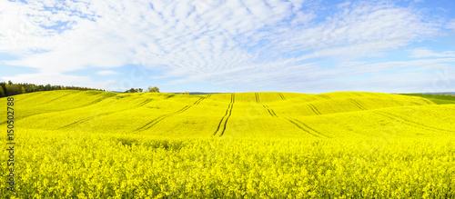 Plexiglas Geel Panorama of blooming field, yellow rape