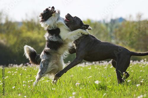 Poster Tobende Hunde