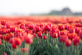 Beautiful field of red tulips at a sunset