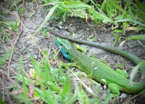 Colorful lizard in the grass. Poster
