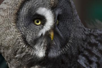 Great Grey Owl, Bird of Prey, portrait