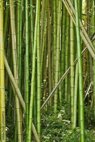 In de dag Bamboo Lush green bamboo background
