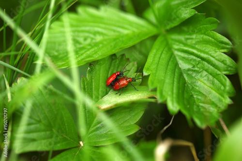 dwa czerwone chrząszcze - ogniczki na liściach Poster