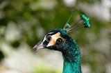 Peacock in Malaysia 5