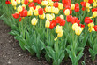 tulips blooming in garden flower bed in spring