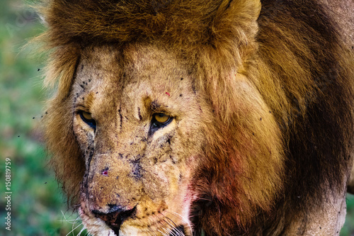 The sight of a lion. Kenya, Africa Poster