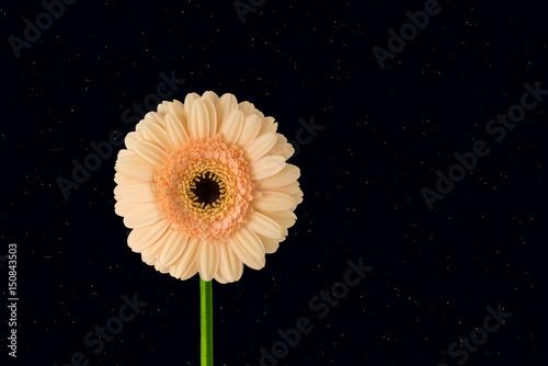 flower portrait by night, starry sky background