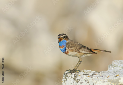 beautiful bird with bright blue feathers stands on a stone and sings in the spring