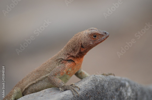 A Lava Lizard (Microlophus delanonis) sits on a rock on Isla Española in the Galapagos Islands Poster