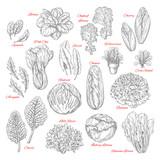 Vector sketch icons of salad leafy vegetables - 150875195