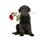 Young adult black labrador retriever sitting holding a red rose in its mouth isolated on a white background