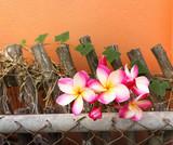 Flower plumeria or frangipani on on old steel and wwod fence with creep plant on orange wall