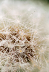 dew drops on white dandelion