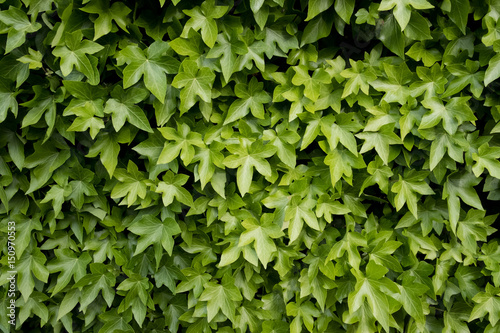 Foto Murales lierre lierre grimpant matière vert feuille texture végétal flore