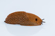 slug on a white background - 150971909