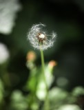 dandelion seeds blowing wind, dreamy magical image with green tones. Abstract dandelion flower background. Big dandelion. Art photography.