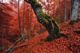 Autumn forest landscape in red tones.Old, moss-covered lonely tree standing on a slope with red fallen leaves.Old rotten beech on a mountainside against a background of red foliage