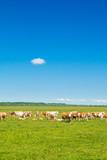 Cows on farm in nature park Lonjsko polje, Croatia  - 151048173
