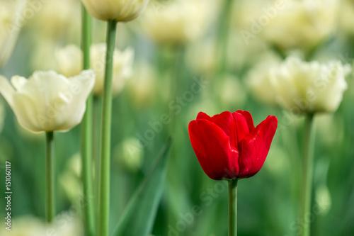 Zdjęcia na płótnie, fototapety na wymiar, obrazy na ścianę : White red tulips