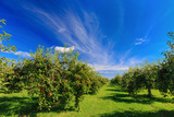 Rows of apple trees in an apple orchard. - 151067381