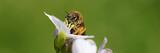 cute bee eating pollen