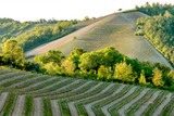 Vineyards with young grapevine plants. Monferrato Italy.