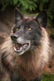 Black Phase Grey Wolf (Canis lupus) Looks Up