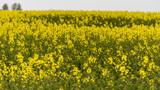 rape blossom field