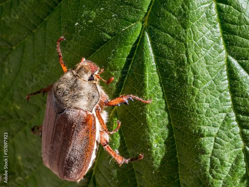 Cockchafer on a leaf. Poster