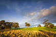 Clare Valley Light