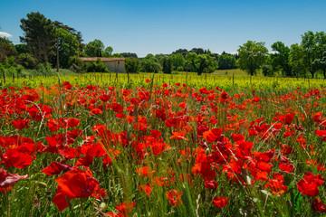 Paysage rural de Provence, France au printemps. Le champ de coquelicots les vignes et une maison. de campagne.