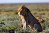 Lion with a beautiful mane looking in the savannah of the Serengeti Nationalpark Park in Tanzania