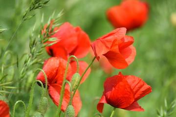 Poppy in meadow on windy day