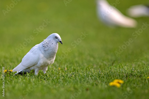 White pigeon in the wild in a clearing