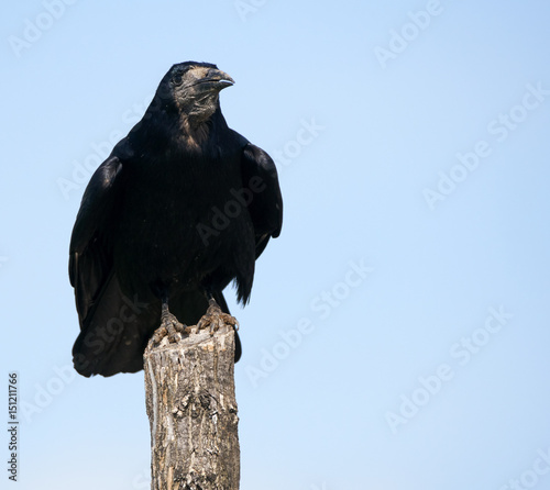 Rook perched on a pole