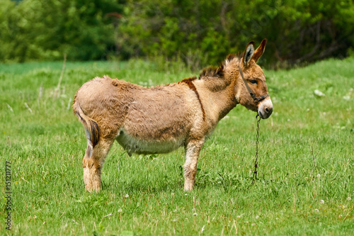 Poster Ezel Donkey on a green pasture
