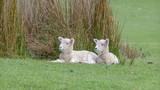 Lämmer und Schafe in Neuseeland (New Zealand)