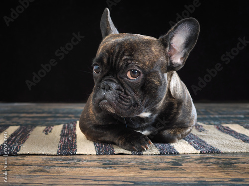 Foto op Aluminium Franse bulldog The dog lying on the floor. Glance, the expression of doubt, distrust