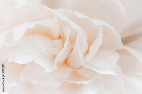 Flower pestle-colored peony close. Pink floral background with blur. - 151228173