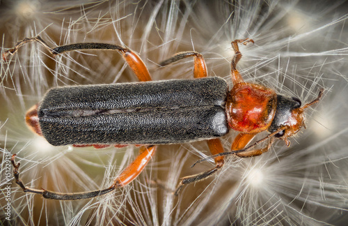 Focus Stacking - Soldier Beetle, Cantharidae Poster