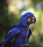 Indigo Blue Macaw