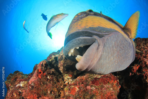 Titan Triggerfish close up with teeth Poster