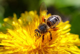 Bee on a yellow dandelion  flower collecting pollen and gathering nectar to produce honey in the hive - 151279565