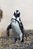 Pingouin du Cap (Boulders Beach, Simons town, Afrique du Sud)