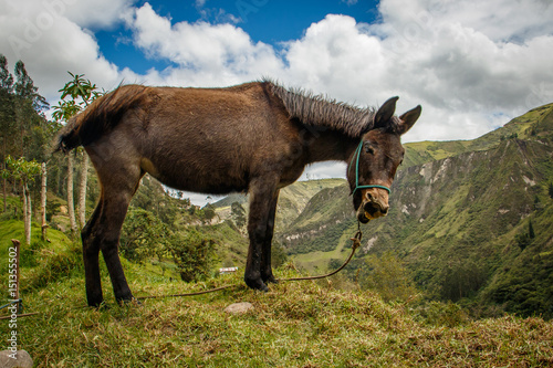 A donkey above canyon on Quilotoa loop trail, Ecuador