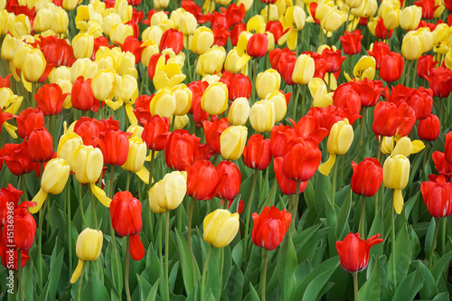 Papiers peints Rouge traffic tulips blooming in garden flower bed in spring