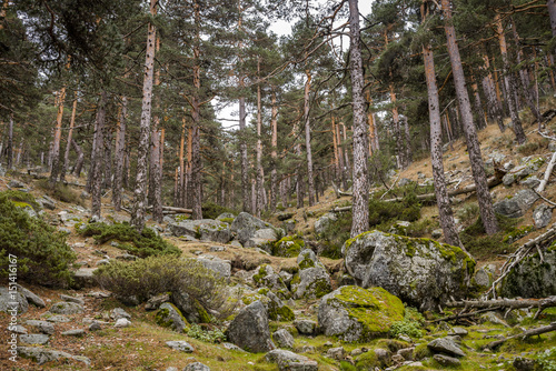 Scots pine forest In Guadarrama Mountains National Park, province of Segovia, Spain. Photo taken from Telegrafo stream